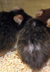 The Curious Case of the Backwardly Aging Mouse