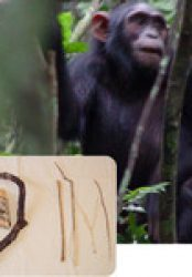Do Chimps Play With Dolls?