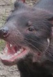 Tasmanian devil genome holds secret to survival