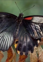 A rare he-she butterfly is born in London's NHM