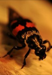 Insects use antibacterial secretions to protect young