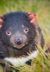 Cull 'cannot save' Tasmanian devil