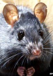 Alien rats take on prey's role