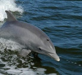 Measleslike Virus Likely Culprit in U.S. Dolphin Die-Off